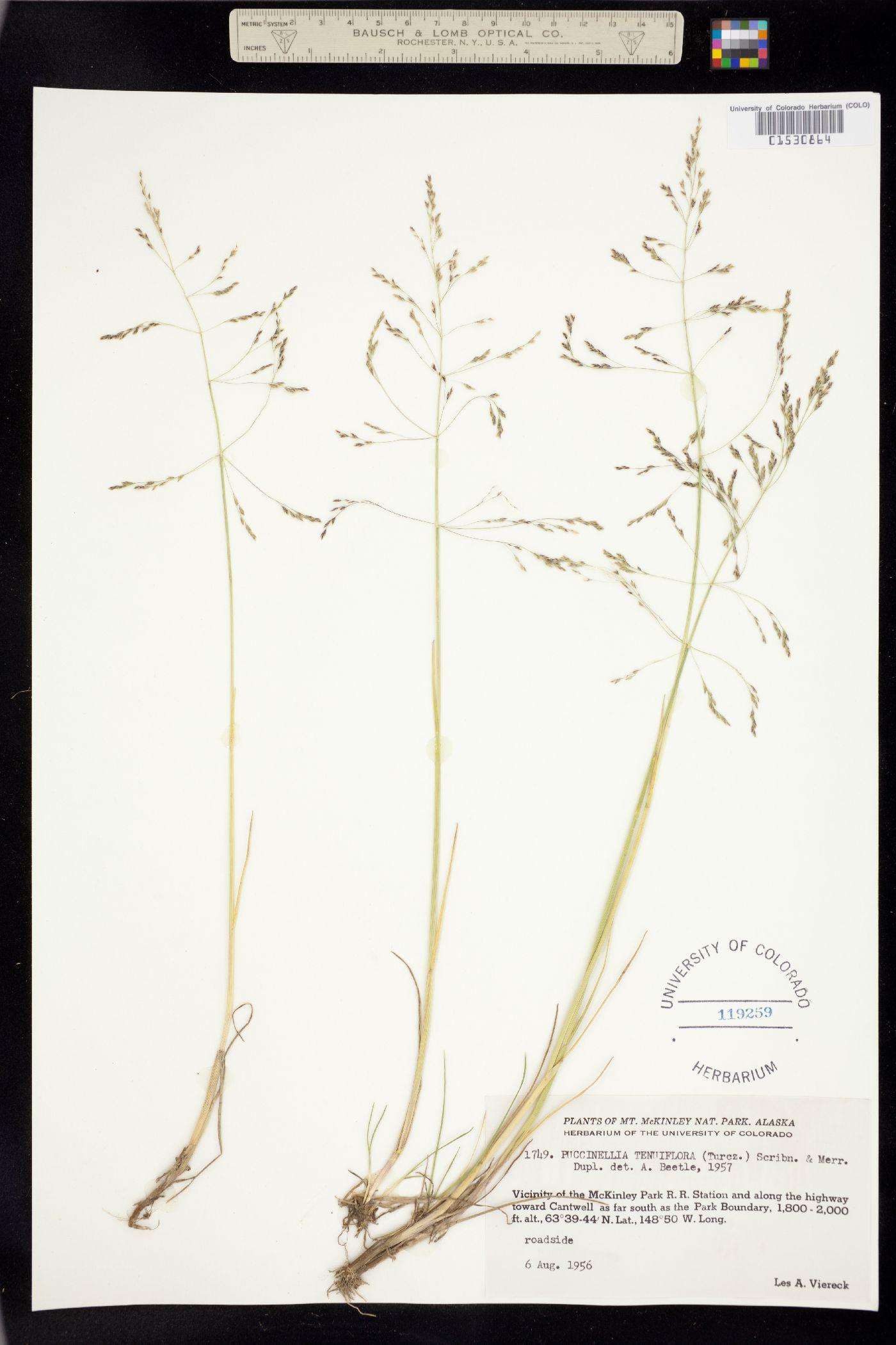 Puccinellia tenuiflora image