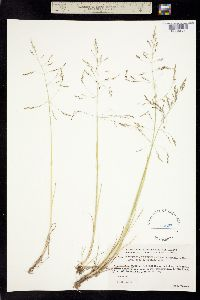 Image of Puccinellia tenuiflora