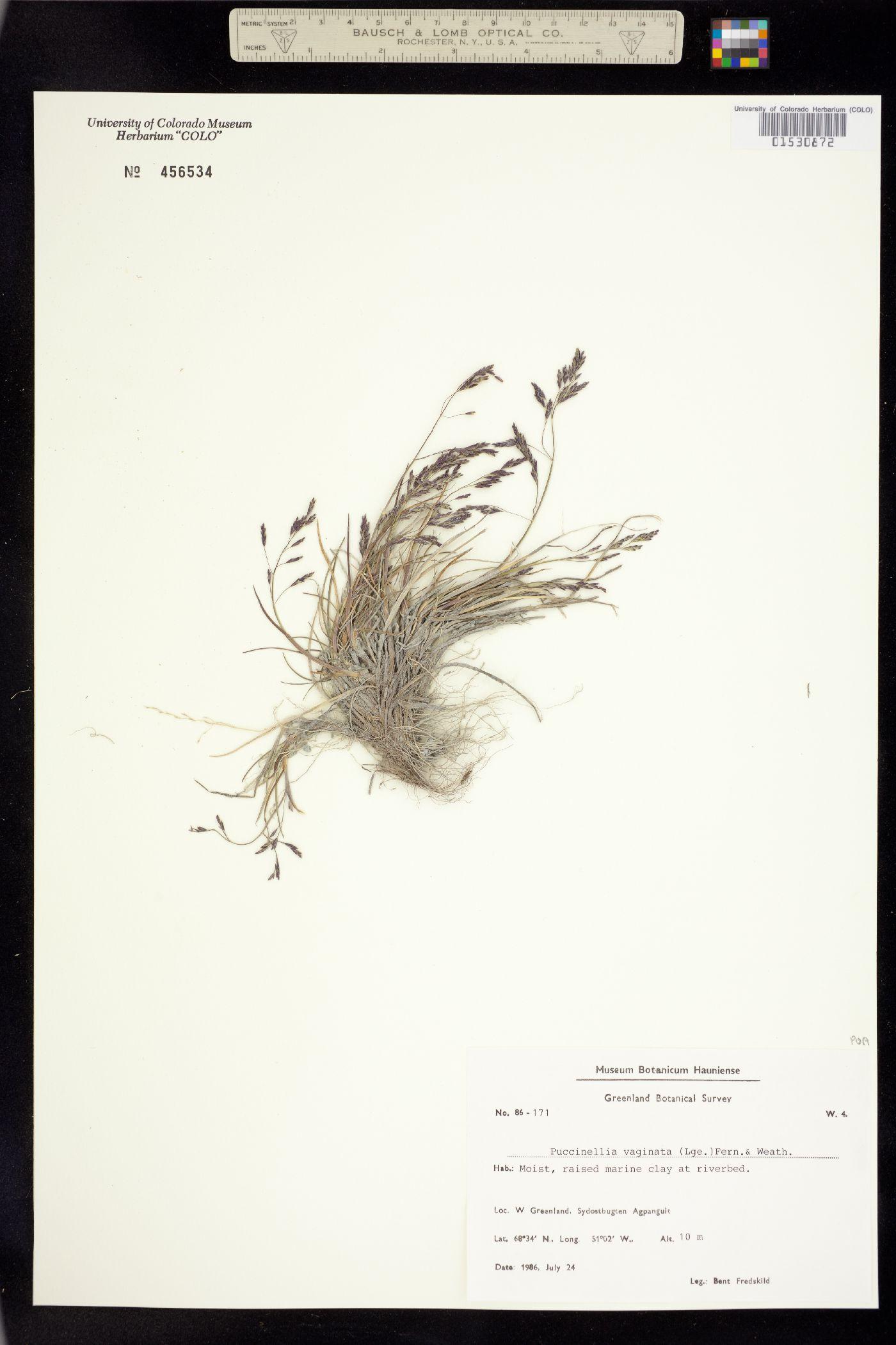 Puccinellia vaginata image