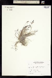 Image of Puccinellia vaginata