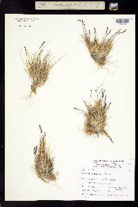 Image of Puccinellia bruggemannii