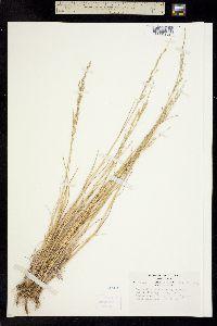 Image of Puccinellia pumila