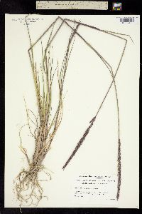Image of Elymus violaceus