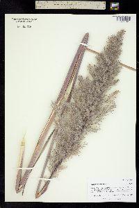 Saccharum ravennae image