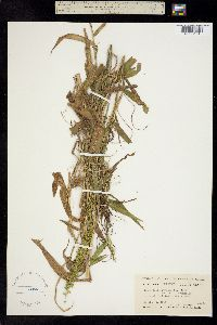 Image of Panicum bermudianum