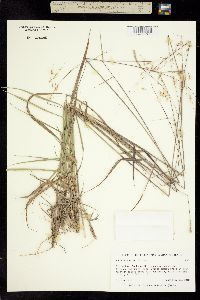 Sorghastrum nudipes image