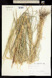 Image of Sorghum lanceolatum