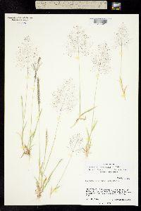Sporobolus coahuilensis image