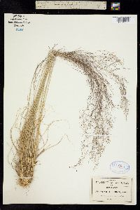Sporobolus capillaris image