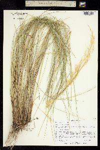 Image of Achnatherum clandestinum