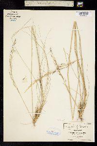 Image of Stipa virescens