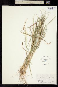Digitaria insularis image
