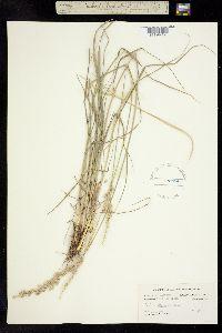 Image of Tridens albescens