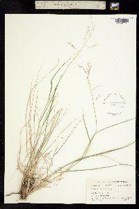 Image of Tridens texanus