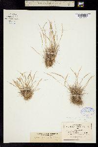 Image of Bromus spicatus