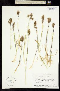 Trisetum sibiricum image