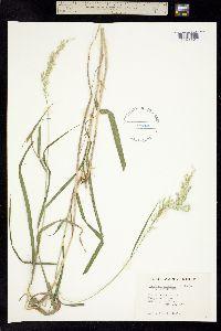 Trisetum virletii image
