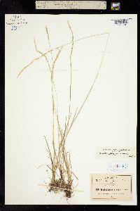 Peyritschia koelerioides image