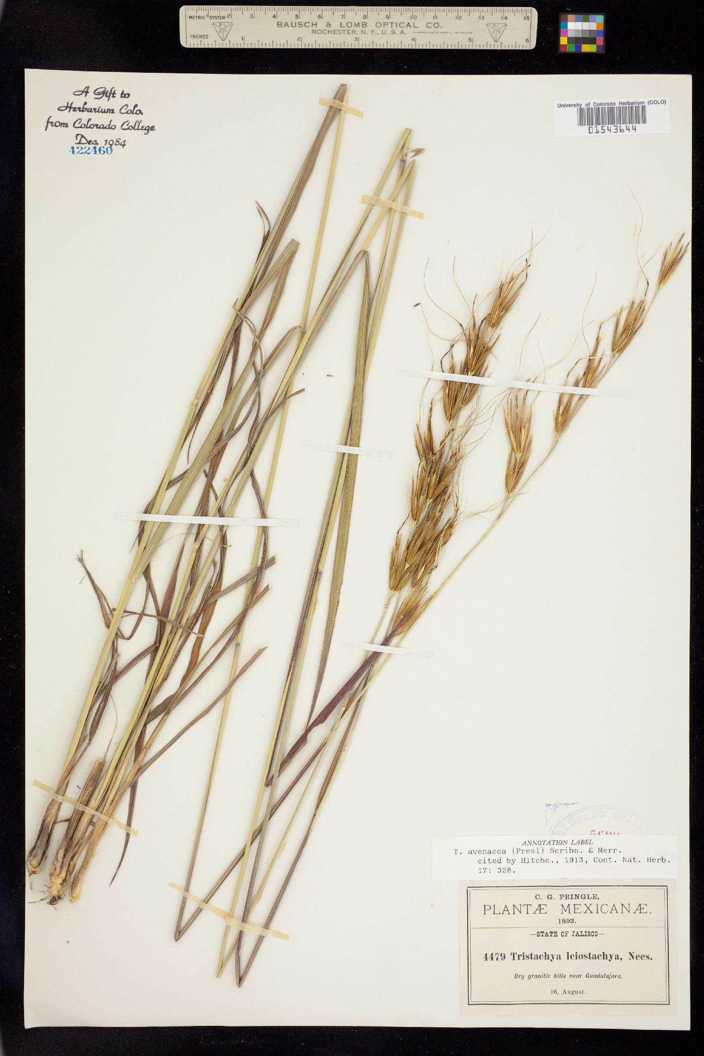 Tristachya leiostachya image