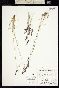 Vahlodea atropurpurea image