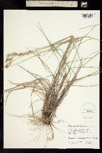 Image of Distichlis multinervosa