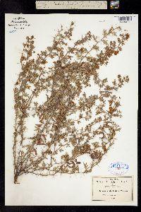 Acacia biaciculata image