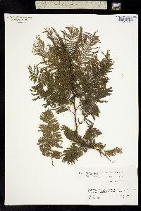 Image of Vachellia macracantha