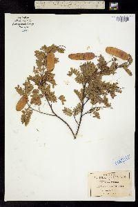 Image of Acacia micrantha
