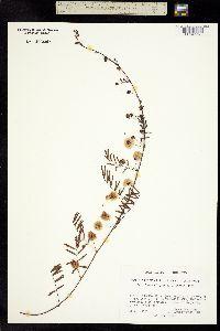 Image of Acacia prostrata
