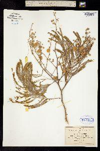 Acacia retusa image