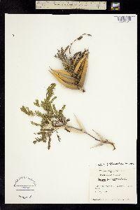 Image of Vachellia sphaerocephala