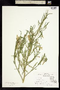Image of Aeschynomene indica