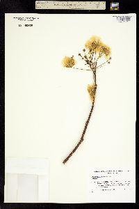 Albizia occidentalis image