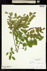 Image of Amorpha glabra