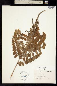 Image of Amorpha herbacea