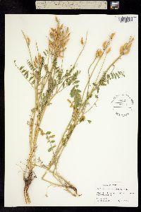 Image of Astragalus adanus