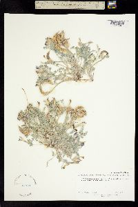 Astragalus amphioxys image