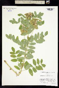 Image of Astragalus americanus