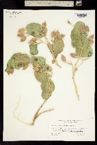 Astragalus asclepiadoides image