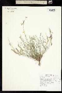 Image of Astragalus atratus