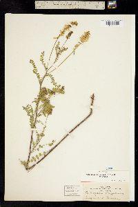 Image of Astragalus altus