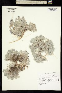 Image of Astragalus anserinus