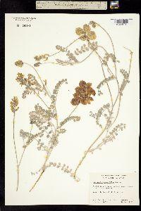 Image of Astragalus anemophilus