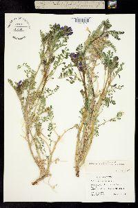 Image of Astragalus beathii