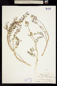 Image of Astragalus bicristatus