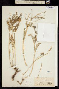 Astragalus bolanderi image