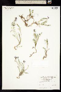 Image of Astragalus bourgovii