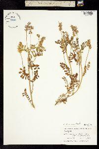 Image of Astragalus brazoensis