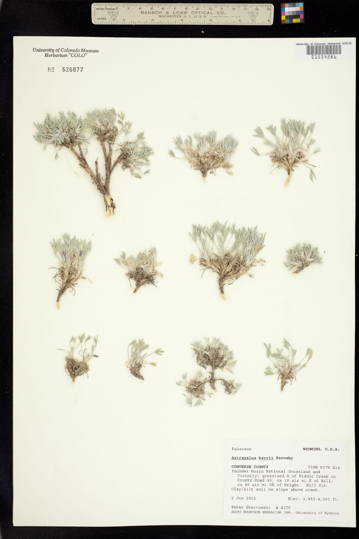 Astragalus barrii image