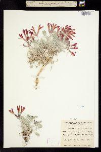 Image of Astragalus coccineus